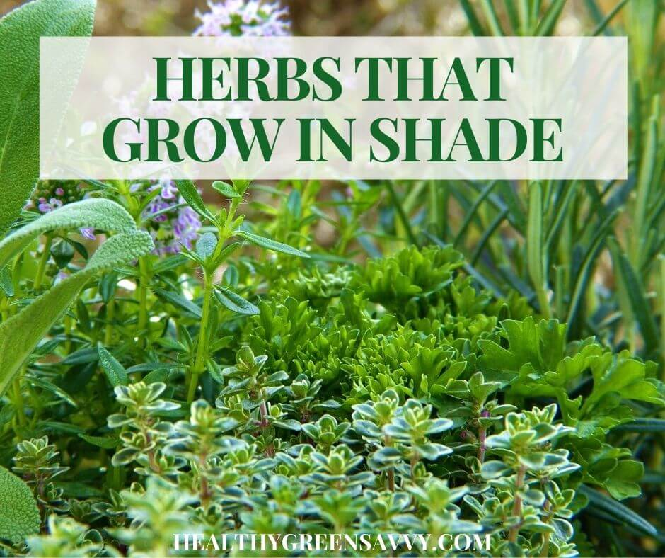 cover photo of herbs that grow in shade with title text overlay