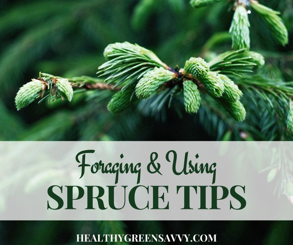 Foraging & Using Spruce Tips, a Delicious Spring Edible