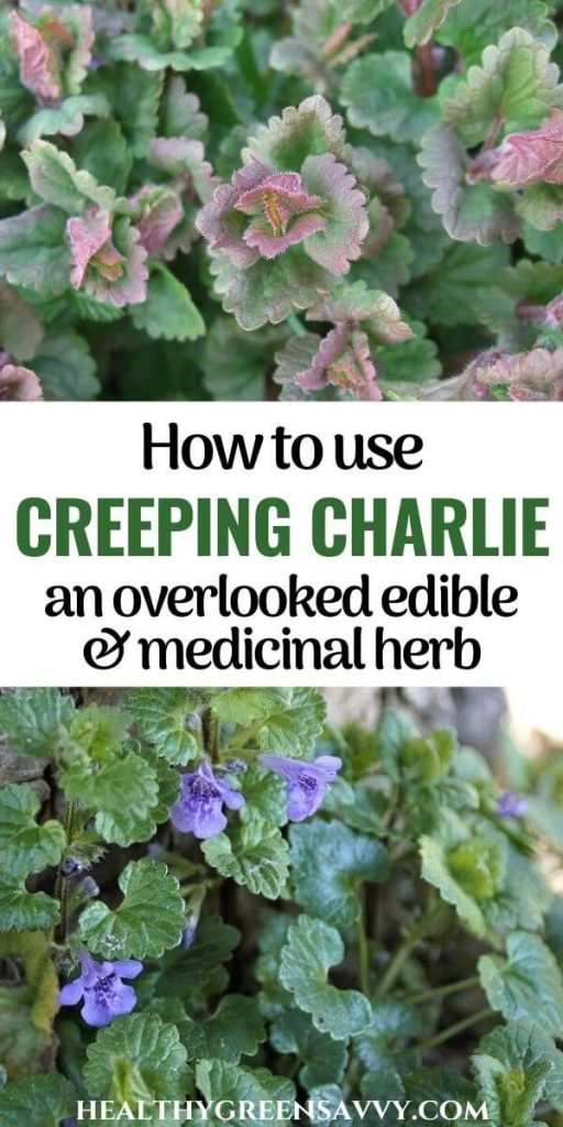 pin with photos of creeping Charlie (ground ivy) growing plus title text