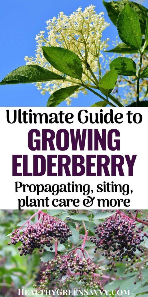pin with photos of elderflower and elderberries growing plus title text