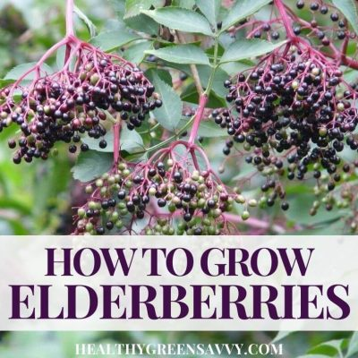 cover photo of elderberries growing with title text