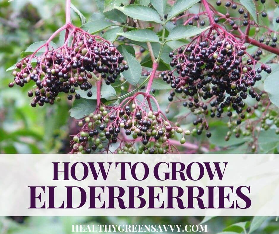 Ultimate Guide to Growing Elderberry in Your Home Garden