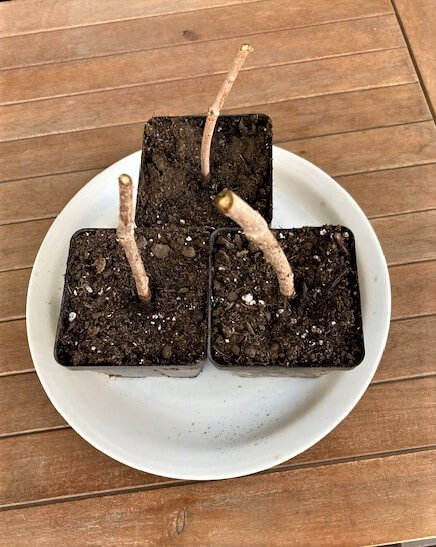 photo of elderberry cuttings rooting in pots