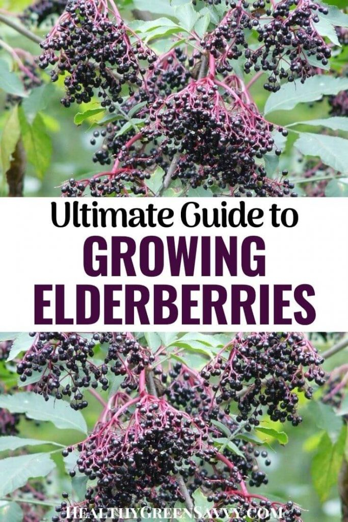pin with photos of elderberries growing on bush plus title text