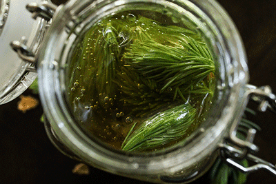 Honey Fermented Spruce Tips from the Fermened Foodie