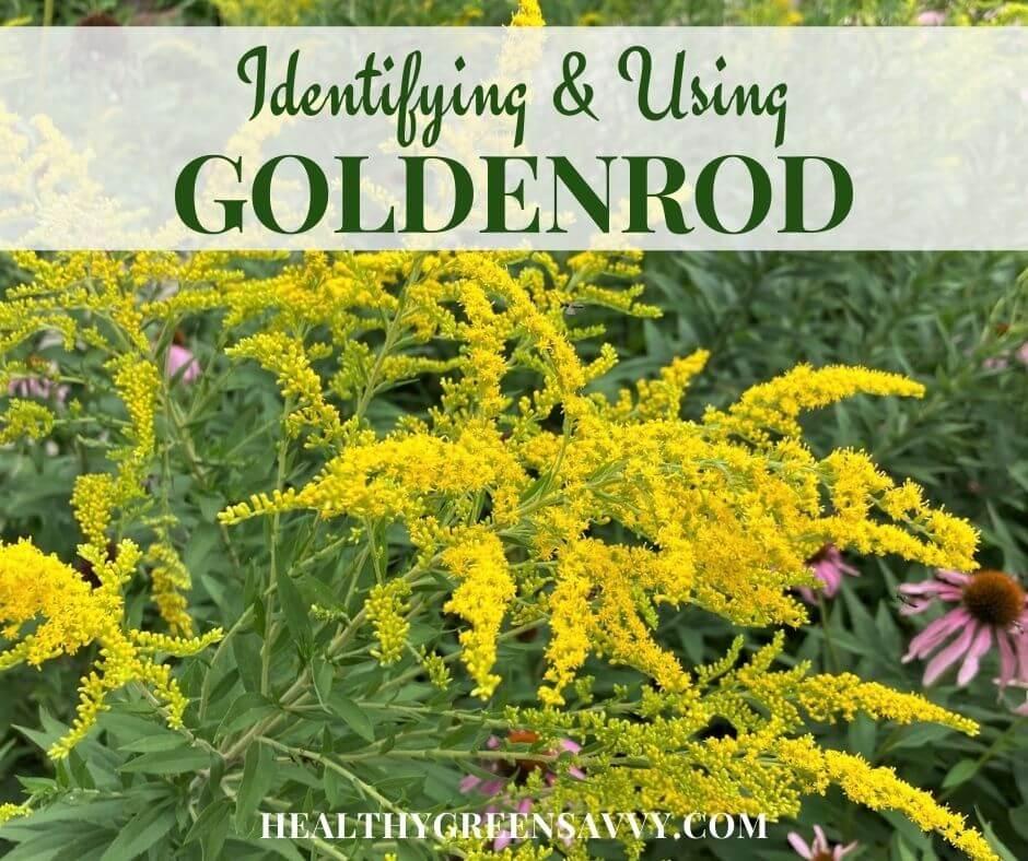 Goldenrod Identification + Goldenrod Benefits & Medicinal Uses