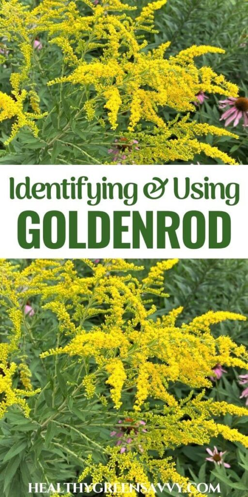 pin with photos of goldenrod growing with title text