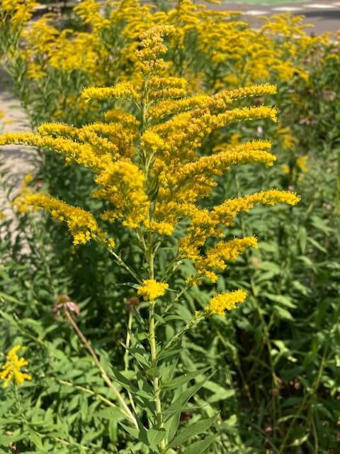 photo of goldenrod plant growing