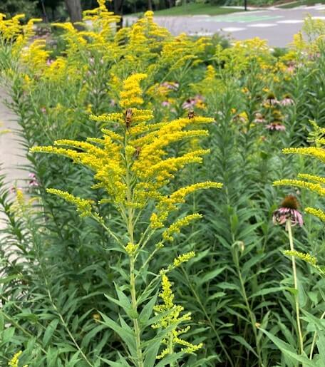 photo of goldenrod plant with soldier beetles