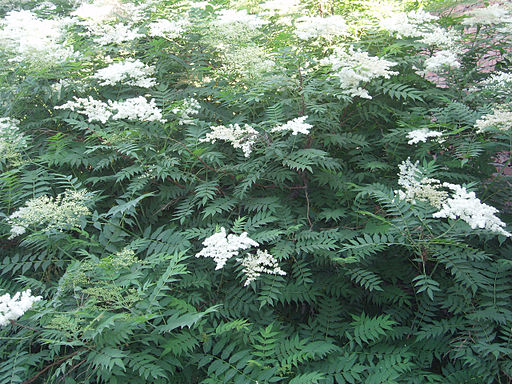 photo of false spirea, showing differences from elderberry plant