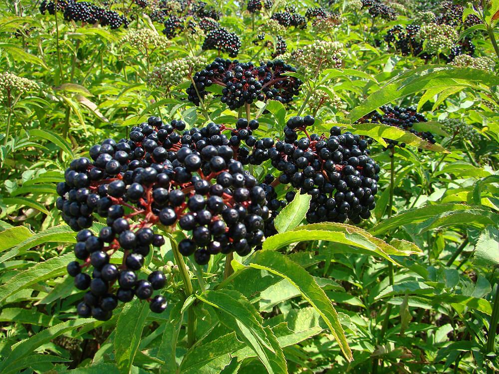 photo of poisonous dwarf elderberries