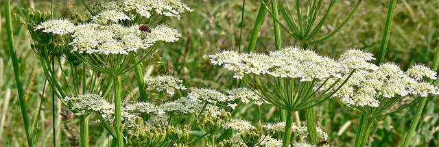 photo of flowers of Giant Hogweed