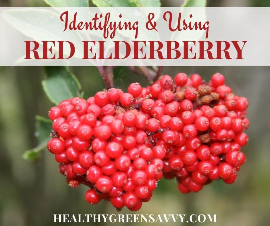cover photo of red berried elder (red elderberry) with title text overlay