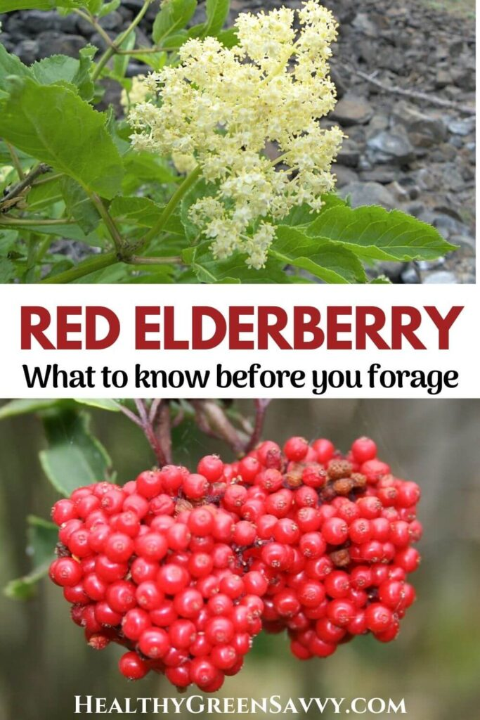 pin with photos of red berried elder (red elderberry) with title text