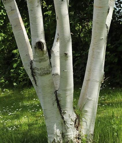 photo of white birch tree trunk