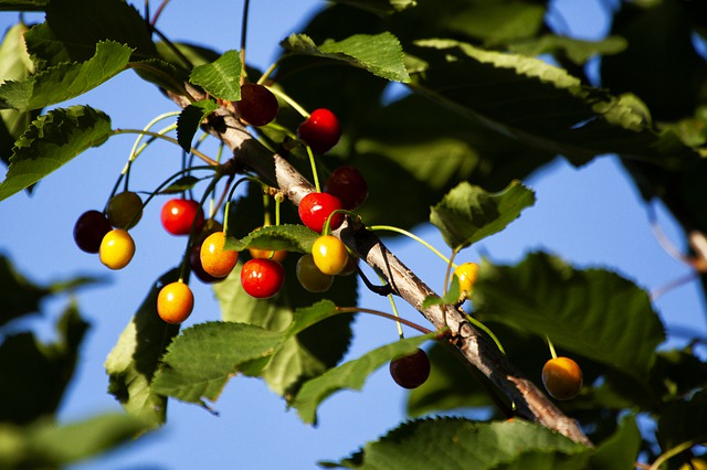 photo of wild cherries growing on tree