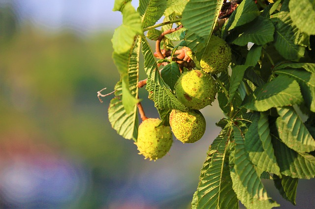 photo of horse chestnuts growing on tree