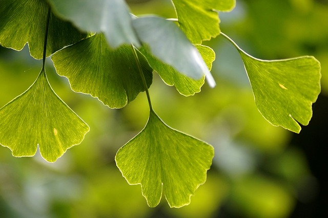 closeup of leaves on gingko tree