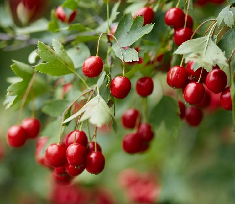 photo of berries growing on hawthorn tree