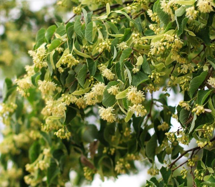 photo of linden flowers growing on tree