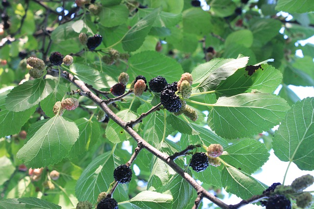 photo of mulberry tree, a top medicinal tree to forage