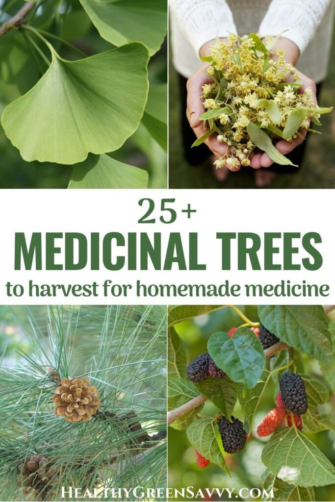 pin with photo collage of four medicinal trees, gingko, linden, pine, and mulberry