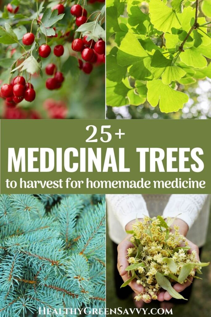 pin with photo collage of four medicinal trees, hawthorn, gingko, spruce, and linden