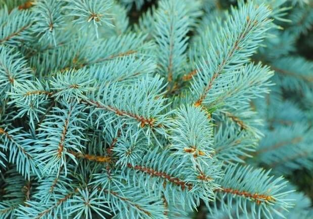 photo of spruce tree branches
