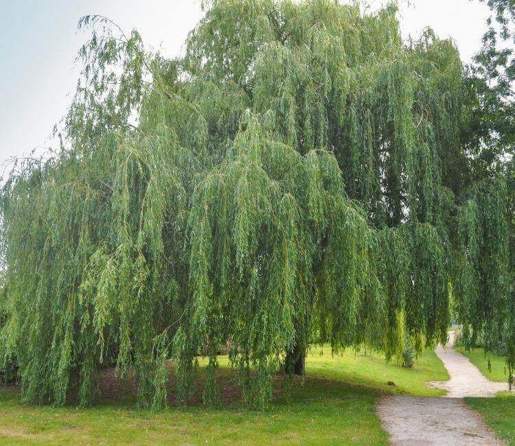 photo of willow tree, a top medicinal tree