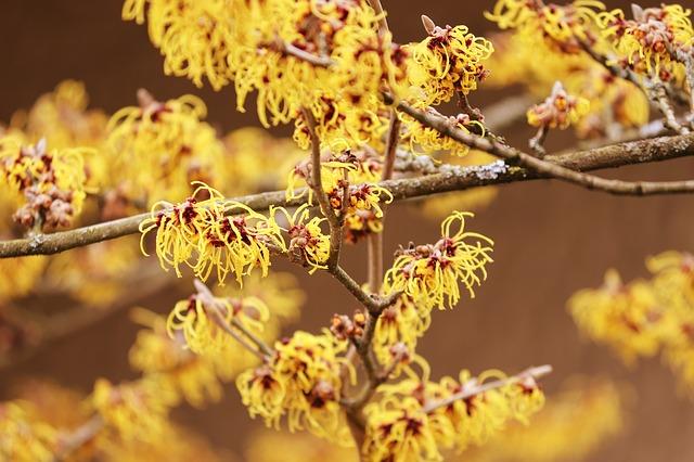 photo of witch hazel flowers
