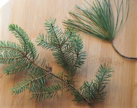 photo of pine needles and spruce needles on branches to show how they differ