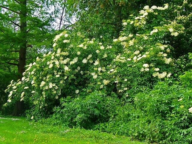 photo of large sambucus nigra elderberry bush