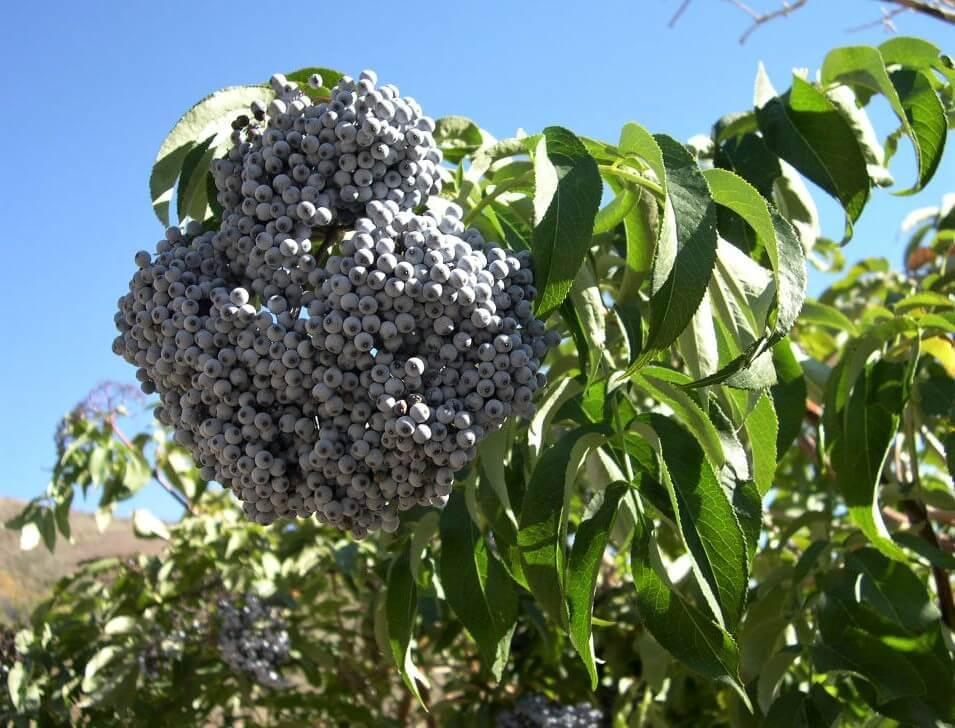 photo of sambucus cerulea elderberry cluster