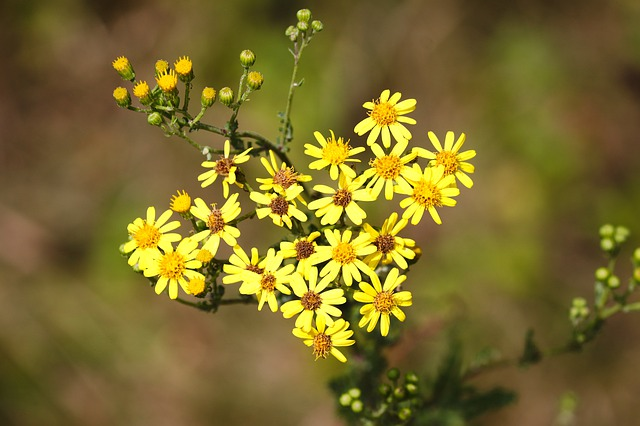 photo of ragwort to show difference from goldenrod identification