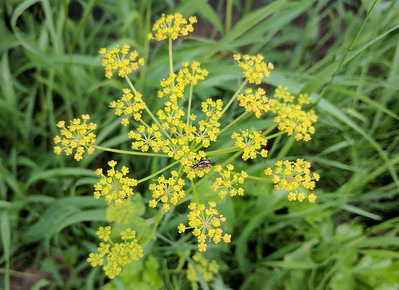 photo of wild parsnip flowers to show difference from goldenrod identification