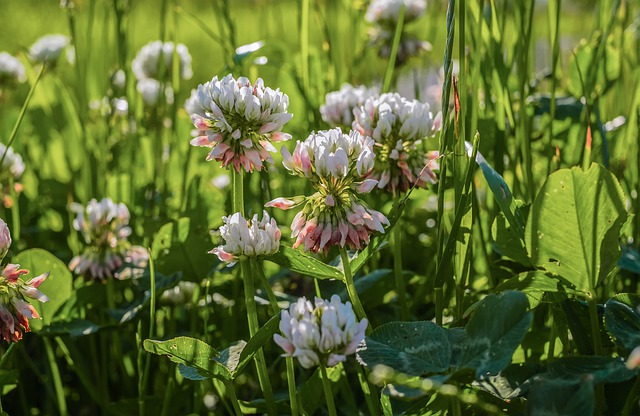 photo of white clover flowers