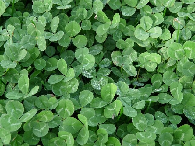 photo of clover leaves growing