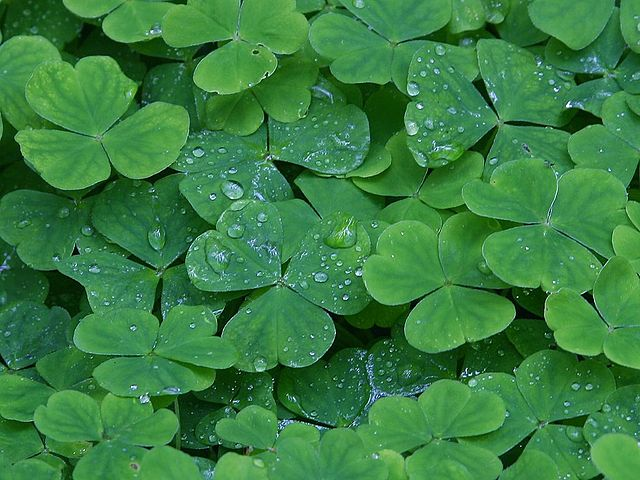 photo of edible wood sorrel (sour grass) leaves