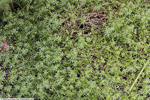 Photo of cleavers plant relative Galium verum or lady's bedstraw by David J. Stang