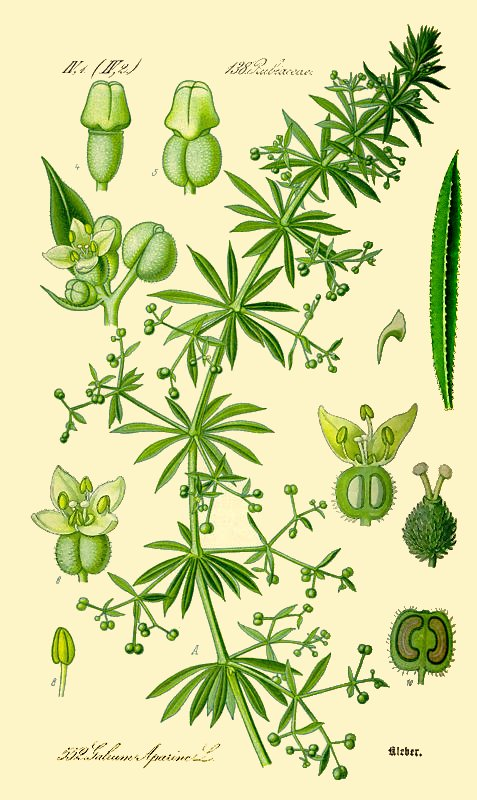 botanical drawing of cleavers plant by Otto Wilhelm Thome