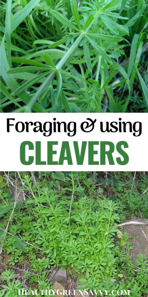 pin with photos of cleavers plant and title text
