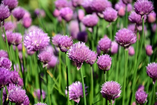 photo of chives by Ulrike Leone