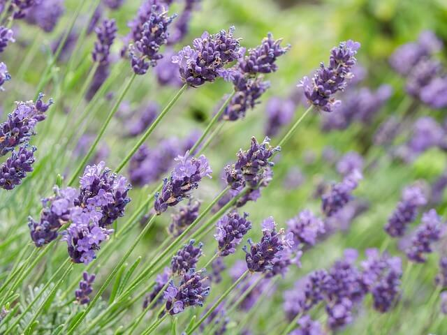 photo of lavender growing