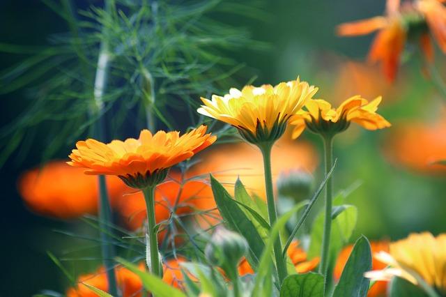 photo of calendula, a plant for the medicinal herb garden