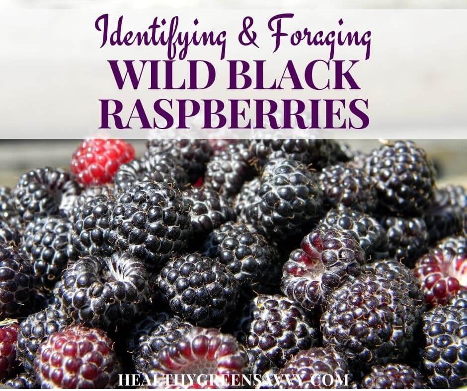 Wild Black Raspberries ~ Identifying and Foraging Blackcap Raspberries