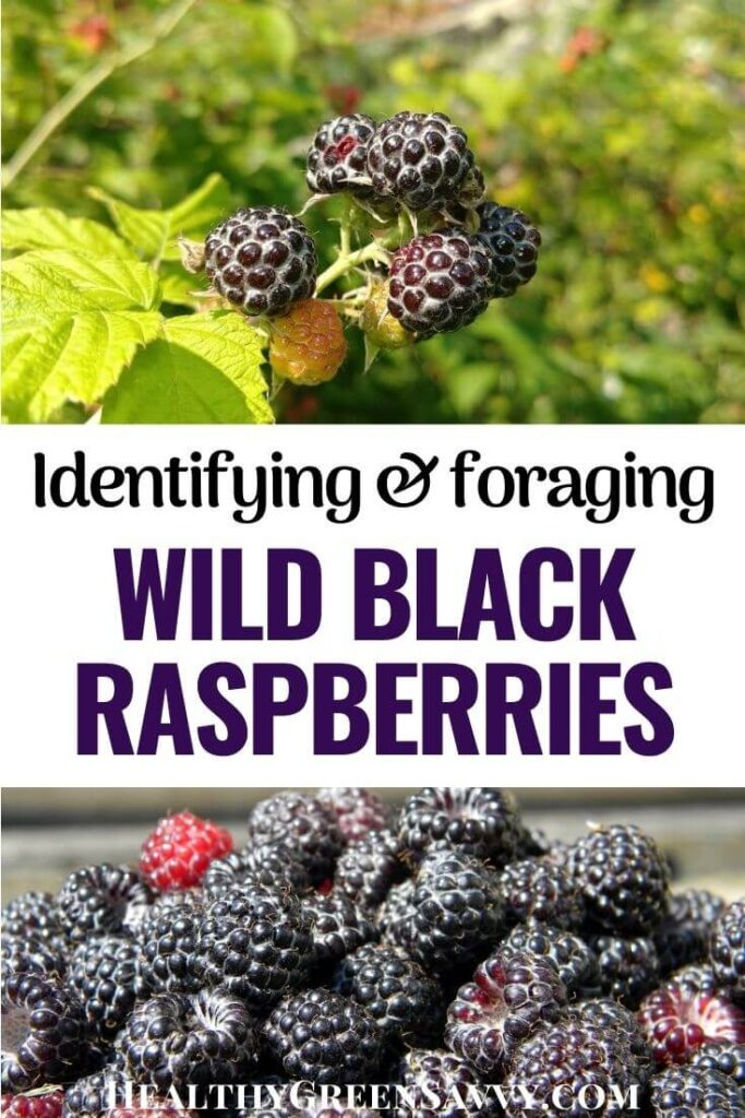pin with photos of black caps berries (wild black raspberries) with title text