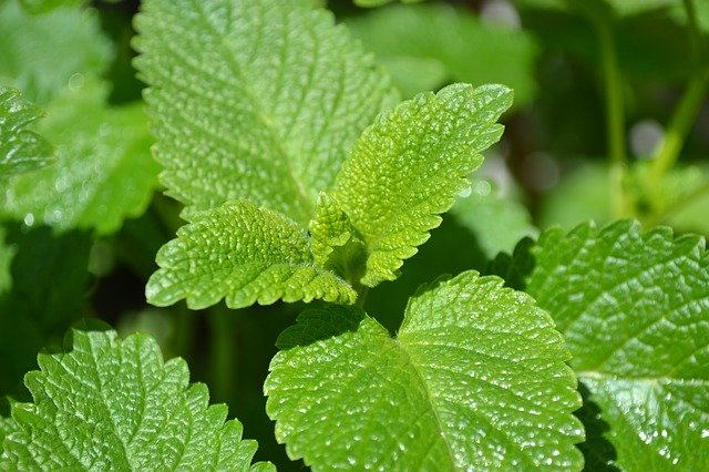 photo of lemon balm, one of the effective calming herbs for relaxation