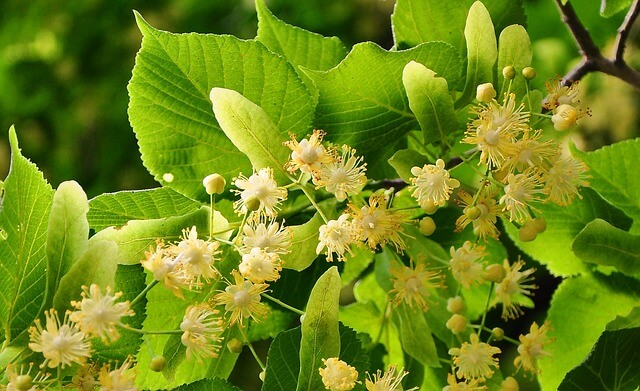 photo of linden flowers, one of the gentlest calming herbs for relaxation