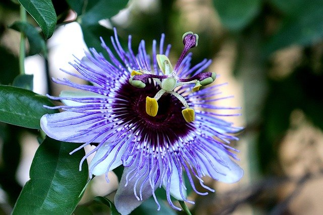 photo of passionflower, one of the best calming herbs for relaxation
