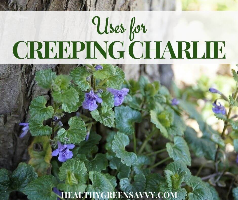 Creeping Charlie Uses ~ Get to Know this Overlooked Edible & Medicinal Herb!